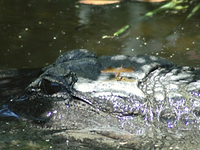 Alligator & Dragonfly . . .