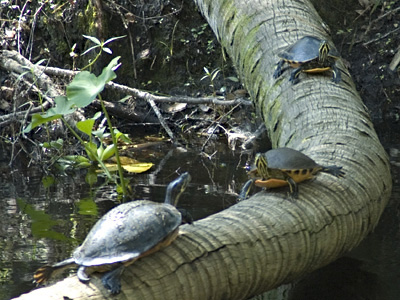 Turtle highway & byway . . .
