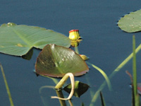 Waterlilies in stasis. . .
